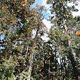 El cielo lleno de Monarcas volando - Foto Luis Miranda