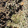 Millones de Monarcas empiezan a volar - Foto Luis Miranda