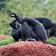 Chímpanse - Foto Luis Miranda