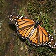 Monarca sin abdomen depredada por aves - Foto Luis Miranda
