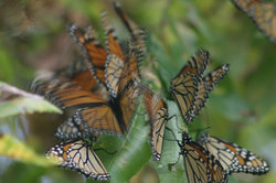Clusters_de_monarcas_foto_vico_gtz