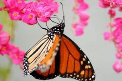 Monarca_foto_vico_gtz_2