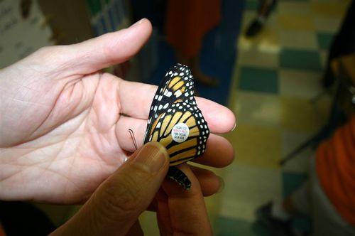 Etiquetando mariposas - Foto Vico Gutiérrez