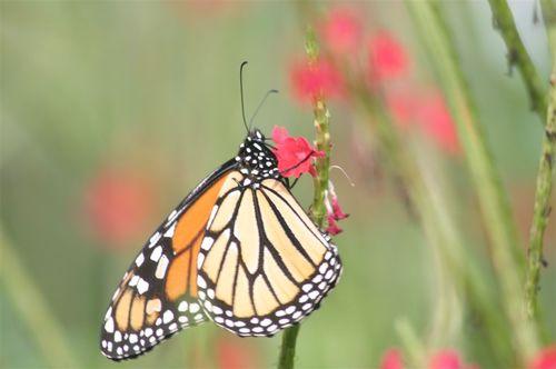Monarca - Foto Andrew Donaldson