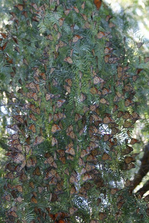 Grandes Perchas de Monarcas en Saltillo - Foto Luis Miranda