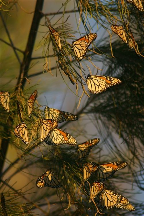 Perchas de Mariposas en Celaya - Foto Vico Gutiérrez