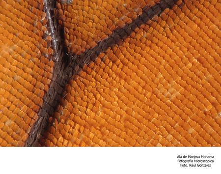 Ala de Mariposa Monarca, Fotografía Microscópica - Foto Raúl González