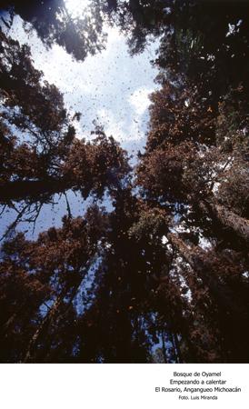Bosque de Oyamel Empezando a Calentar, El Rosario, Angangueo, Michoacán - Foto Luis Miranda