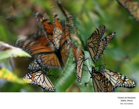 Clusters de Mariposas, Saltillo, México - Foto Vico Gutiérrez