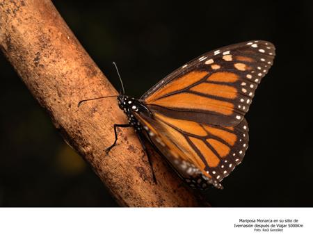 Mariposa Monarca en su Sitio de Hibernación Después de un Viaje de 5000km - Foto Raúl González