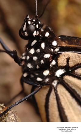 Acercamiento de Mariposa Monarca, Cerro Pelón, Edo. de México - Foto Raúl González
