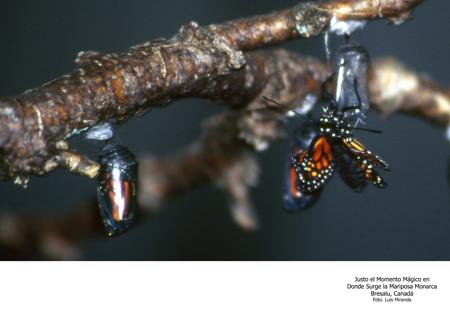 Momento Mágico en el que Surge La Mariposa Monarca - Foto Luis Miranda