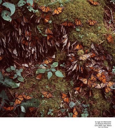 Mariposas en su Lugar de Hibernación, Cerro Pelón - Foto Luis Miranda