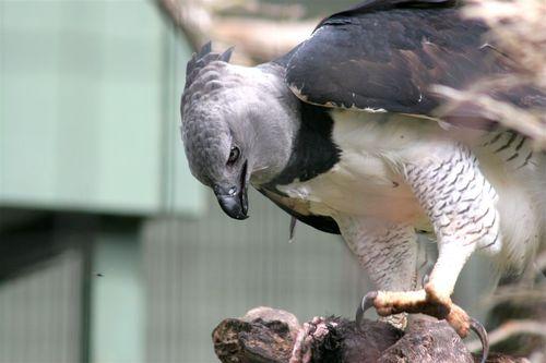 Aguila Arpía - Foto Luis Miranda
