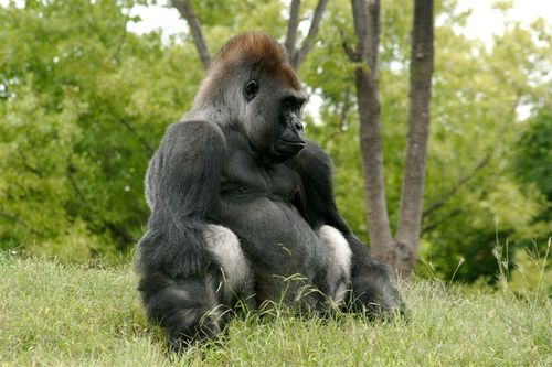 Gorila Bombom - Foto Luis Miranda